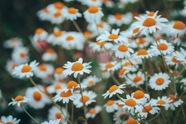 Confine di fiori di campo di camomilla. bella scena della natura con camomille mediche in fiore nel bagliore del sole. medicina alternativa margherita di primavera. fiori estivi. bellissimo prato. sfondo estivo
