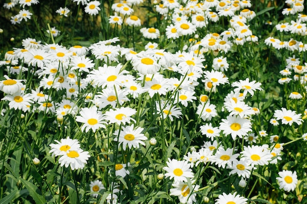 Campo di fiori di camomilla, camomilla in natura.