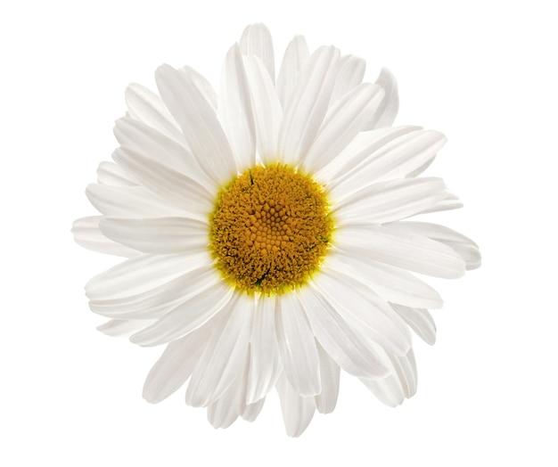 Fiore di camomilla isolato su sfondo bianco. pianta medicinale a base di erbe.