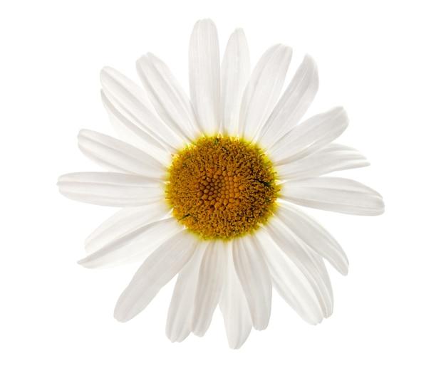 Fiore di camomilla isolato su sfondo bianco pianta di erbe medicinali