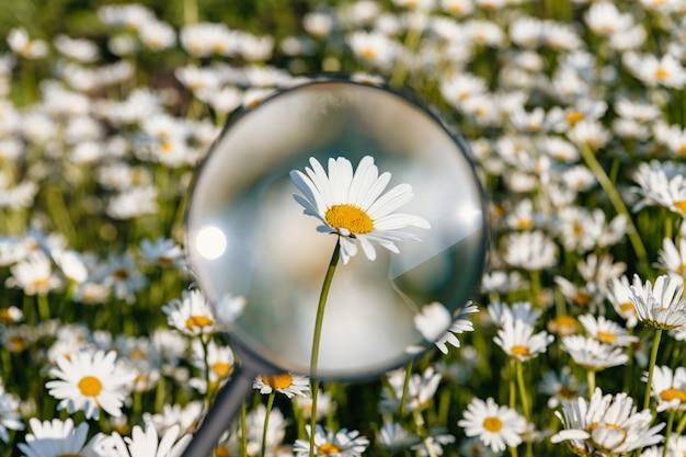 Fiore di camomilla sotto una lente d'ingrandimento