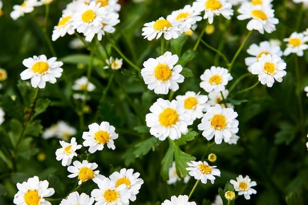 Sfondo di fiori di camomilla. petali di camomilla bianca, primo piano
