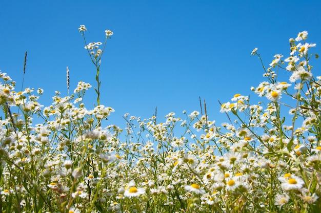 I fiori di camomilla sbocciano in un campo estivo
