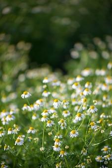 Campo di fiori di camomilla ampio sfondo alla luce del sole. margherite estive. bella scena della natura con camomille mediche in fiore. medicina alternativa. camomilla sfondo fiore di primavera bellissimo prato