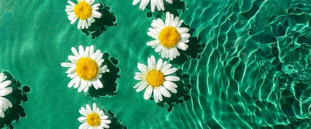 Fiori di camomilla in acqua verde sotto luce naturale. vista dall'alto, piatto. bandiera.