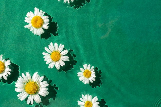 Fiori di camomilla sull'acqua verde sotto la luce del sole. vista dall'alto, piatto.