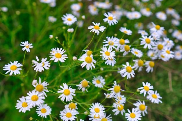 Prato di fiori di camomilla in primavera