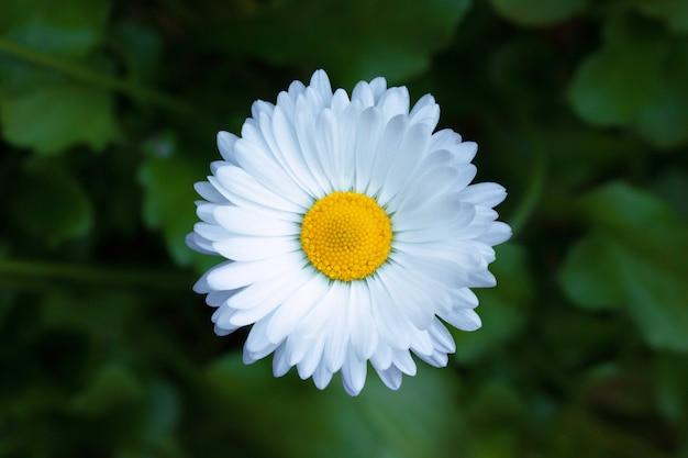 Fondo all'aperto del giardino di estate del singolo fiore della camomilla
