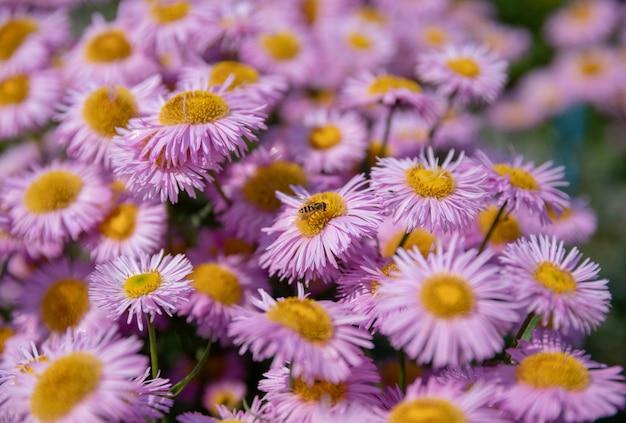 Camomilla nel giardino estivo. fotografia fiore magico su sfondo sfocato
