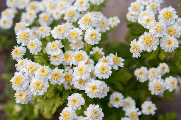 Camomille in giardino con gli stessi fiori sfocati sullo sfondo.