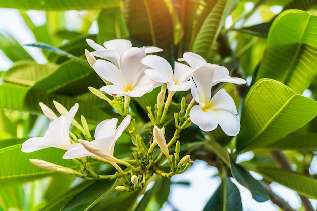 Fiore di champa in giardino tailandia (fiore di leelawadee)
