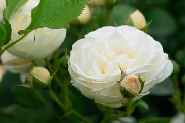 Champagne bocciolo di rosa e fiore, varietà artemis nel verde del giardino su un cespuglio
