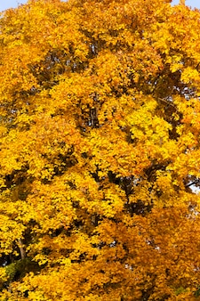 Cambiando il colore dell'acero nella stagione autunnale, il fogliame dell'albero di acero è danneggiato e cadrà