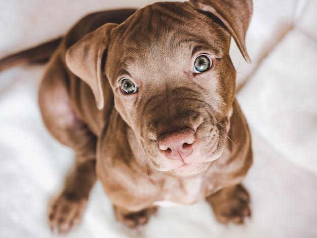 Affascinante, grazioso cucciolo di colore marrone. primo piano, al coperto. luce del giorno. concetto di cura, educazione, addestramento all'obbedienza, allevamento di animali domestici