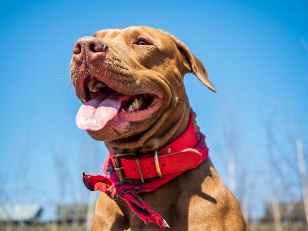 Affascinante cucciolo di colore marrone con collare rosso su sfondo blu cielo