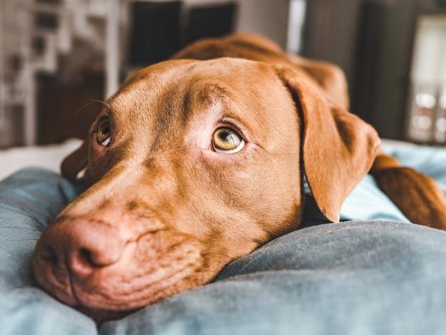 Affascinante, dolce cucciolo color cioccolato. primo piano, al coperto. luce del giorno. concetto di cura, educazione, addestramento all'obbedienza, allevamento di animali domestici