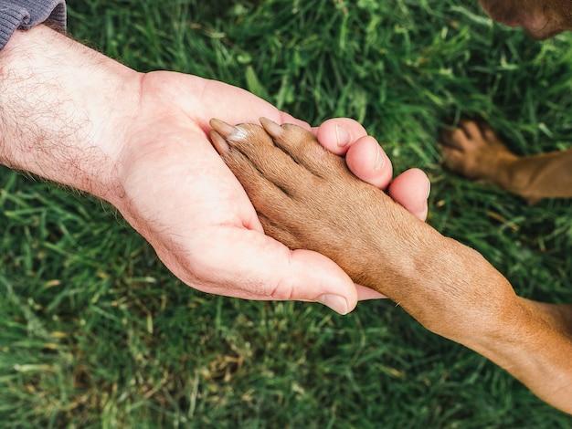 Affascinante, dolce cucciolo di colore cioccolato. primo piano, al chiuso. luce del giorno. concetto di cura, educazione, addestramento all'obbedienza, allevamento di animali domestici