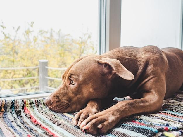 Affascinante, dolce cucciolo color cioccolato
