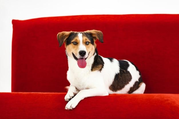 Allegro cane jack russell terrier si trova su un divano rosso su uno sfondo di un muro bianco