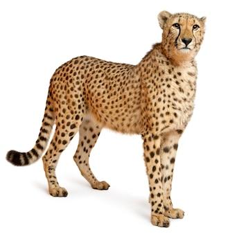 Ghepardo, acinonyx jubatus, 18 mesi, in piedi