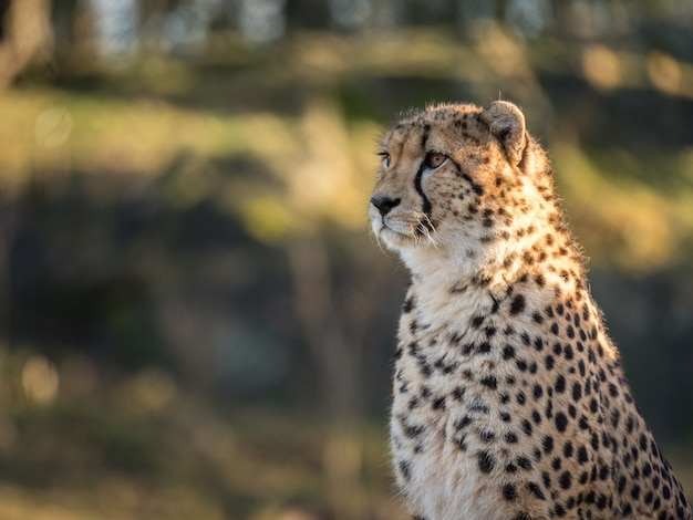 Ghepardo, acinonyx jubatus, guardando a sinistra