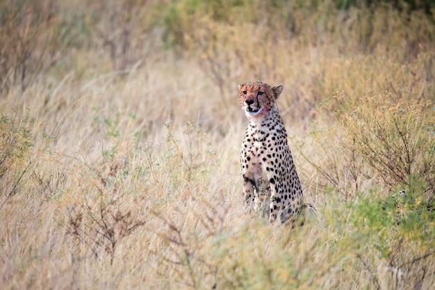 Un ghepardo che mangia in mezzo all'erba