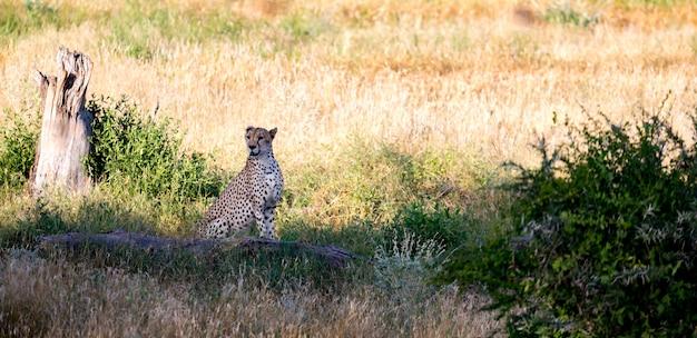 Ghepardo nel pascolo della savana nel kenya