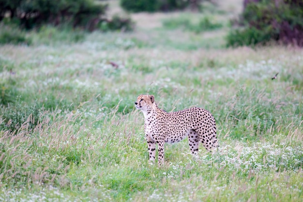 Un ghepardo nella prateria nella savana del kenya