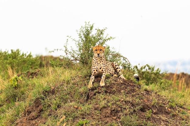 Ghepardo sulla collina sul punto di osservazione nella savana