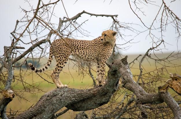 Il ghepardo è seduto su un albero nella savana.