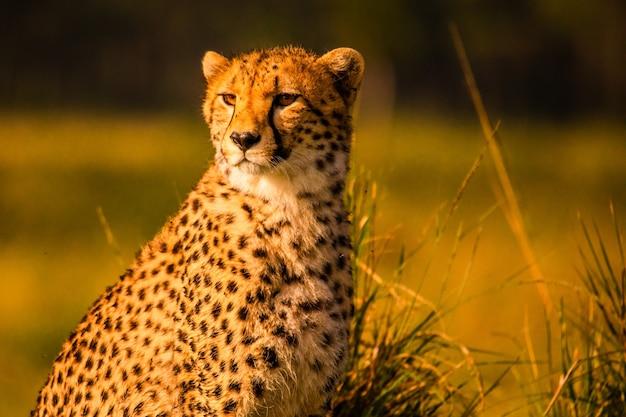 Ghepardo nella riserva nazionale di masai mara