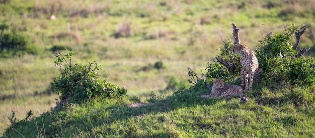 La madre del ghepardo con due figli nella savana keniota