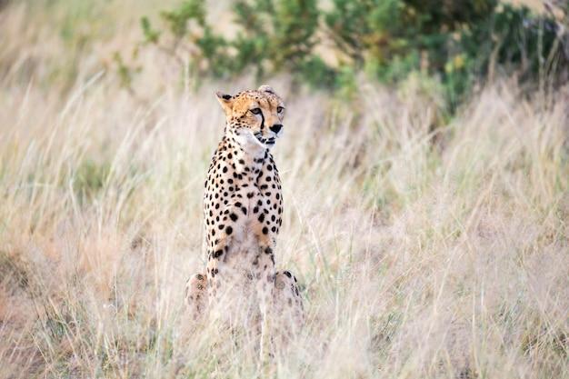 Un ghepardo si siede nella savana in cerca di prede