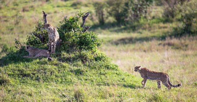 Un ghepardo cammina tra erba e cespugli nella savana del kenya