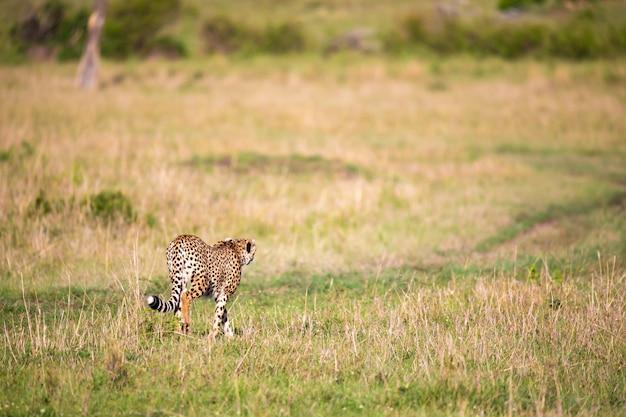Un ghepardo cammina tra erba e cespugli nella savana