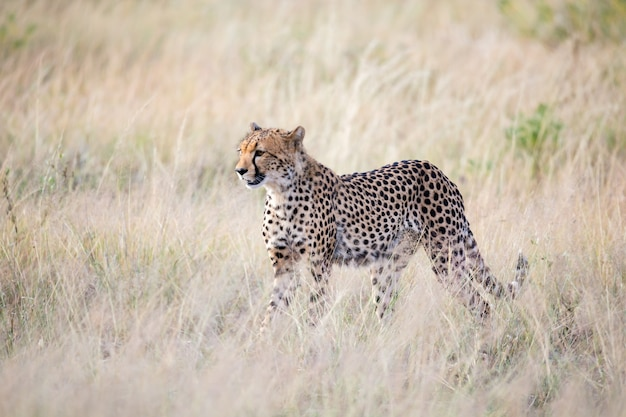 Un ghepardo cammina nell'erba alta della savana alla ricerca di qualcosa da mangiare
