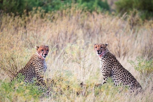 Ghepardi che mangiano in mezzo all'erba