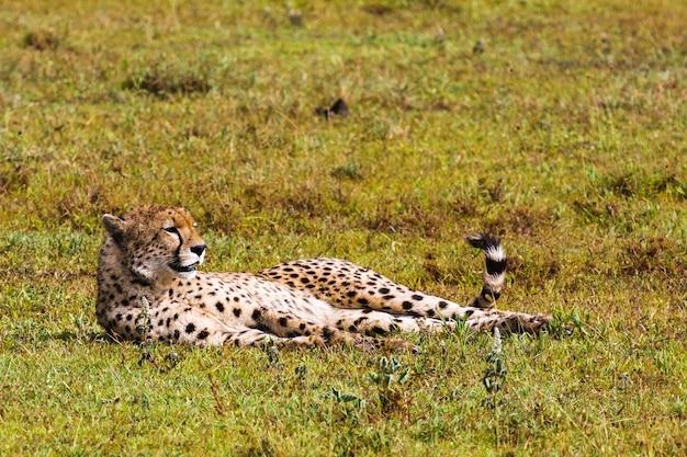 Ghepardi del serengeti, tanzania