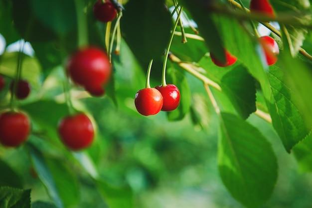 Ciliegie sull'albero, frutti di ciliegio crescono nel frutteto estivo