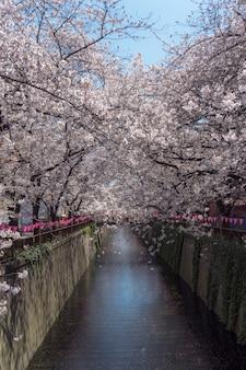 Fiore di ciliegio che fiorisce in primavera al fiume meguro