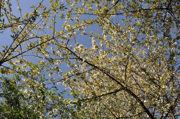 Rami di fiori di ciliegio in normandia