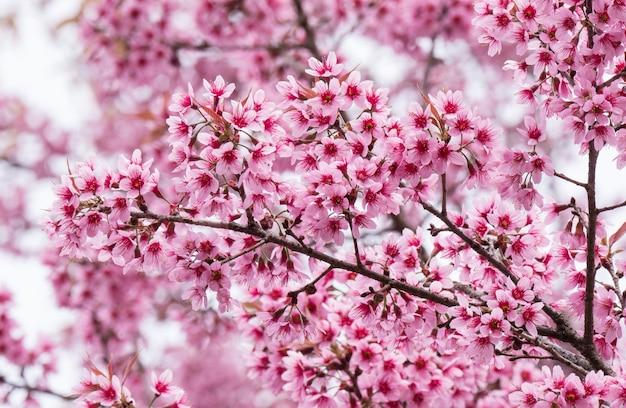 Fiori di ciliegio in fiore in fiore con ramo