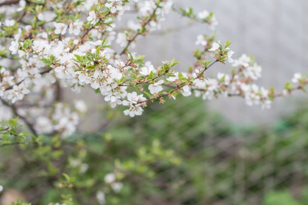 Fiore di ciliegio in piena fioritura