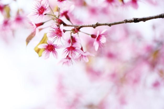 Fiore di ciliegio, fiore di sakura rosa