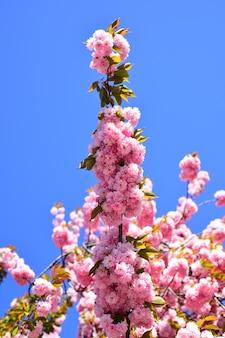Ciliegio sacura in fiore di ciliegio