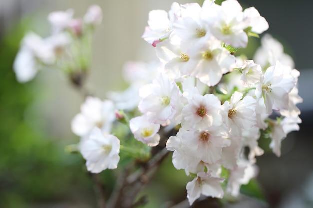 Fiore di ciliegio, fiore di sakura