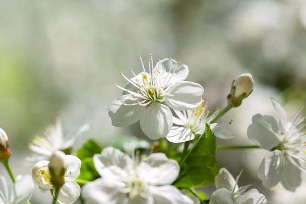 Fiore di ciliegio. tempo primaverile bella primavera fiori di ciliegio