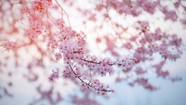 Cherry blossom in primavera con messa a fuoco morbida, stagione di sakura in corea, sfondo.