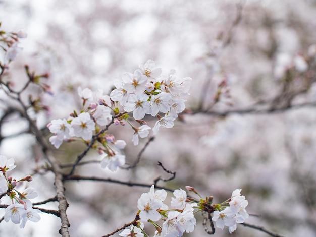 Fiore di ciliegio, primavera del fiore di sakura stagionale in hokkaido, giappone