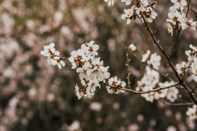 Albero di fiori di ciliegio in primavera sulla natura Foto Premium